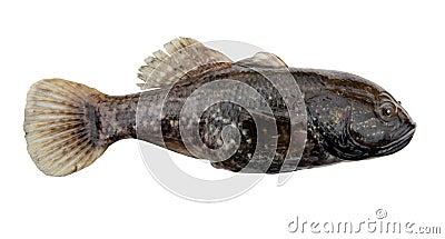 Rybi słodkowodny drapieżnik