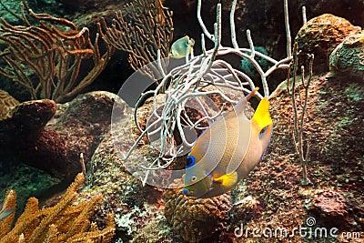 Rybi tropikalny