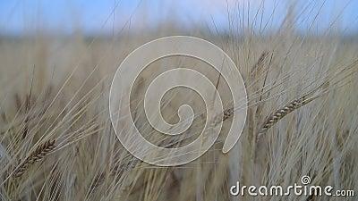 Rye в поле в затишье акции видеоматериалы