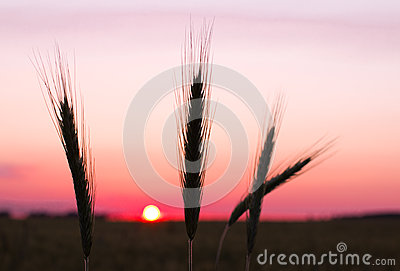 Rye ears at sunset