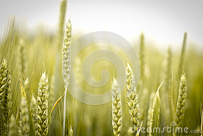 Rye Field Stock Photos - Image: 25209453