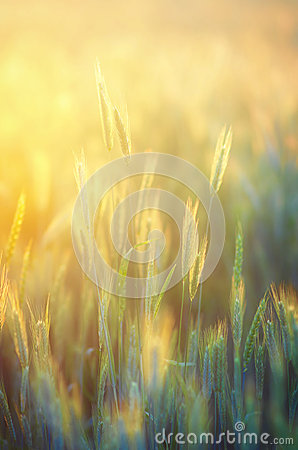 Free Rye Field In Golden Sunshine Stock Image - 35461521