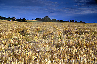 Rye field under a deep blue cloudy sky - visible grain