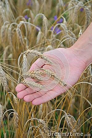 Rye lie on hand