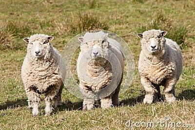 Three sheep - photo#15