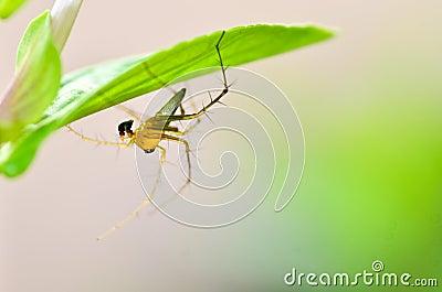 Rysia pająk