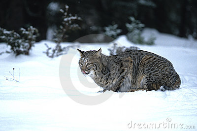 Rysia rudy łowiecki śnieg