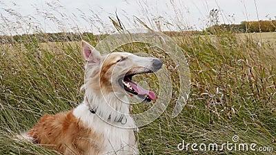 Rysk vinthund som vilar, når att ha jagat arkivfilmer