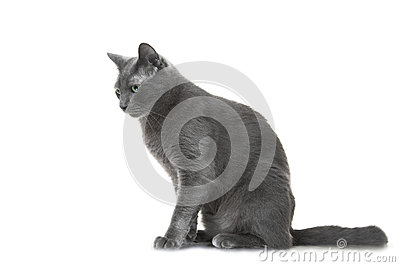 Ryskt sammanträde för blå katt på isolerad vit bakgrund
