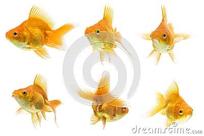 Ryukin Goldfish Series