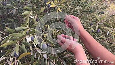 Säsongen för skörd av oliver stock video