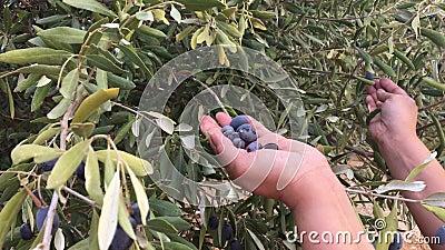 Säsongen för skörd av oliver arkivfilmer