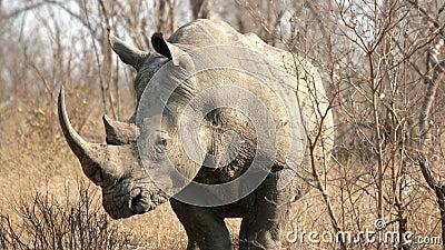 Södra noshörning för africa krugernationalpark