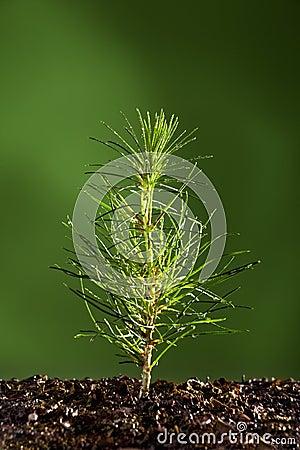 Sörja den små treen för växten