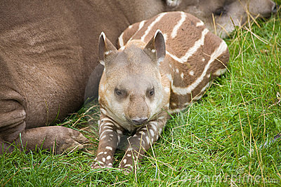 Südamerikanischer Tapir
