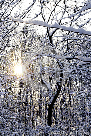 Słońca throug olśniewający śnieg zakrywający drzewa