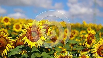 Słonecznik w lecie