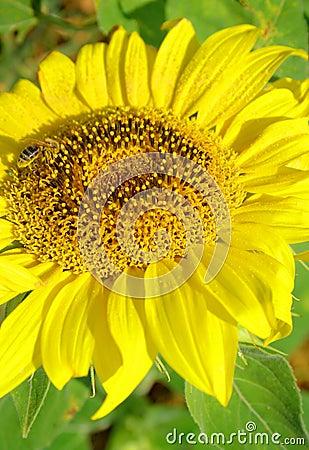 Słonecznik z pszczołą