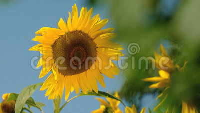 Słonecznikowy kiwanie zbiory