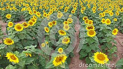 Słonecznikowy rolny pole w kwiacie zbiory wideo