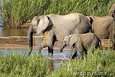 Słoni pić