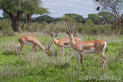 дар s gazelles