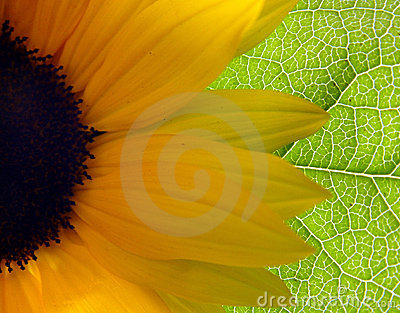 Słonecznik bright