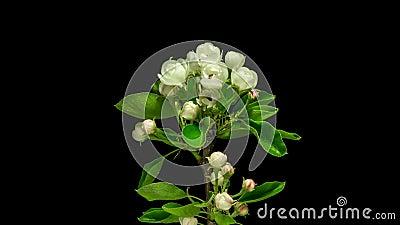 S'ouvrir de fleurs de poire de fruit banque de vidéos