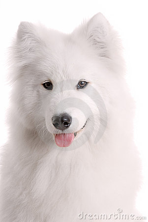 S psi samoyed