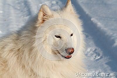 S samoed的狗