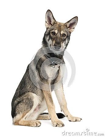 Saarloos Wolf Dog puppy (5 months old)