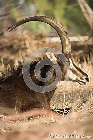 Free Sable Antelope Royalty Free Stock Images - 10400119