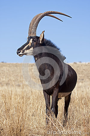 Free Sable Antelope Royalty Free Stock Image - 26736126