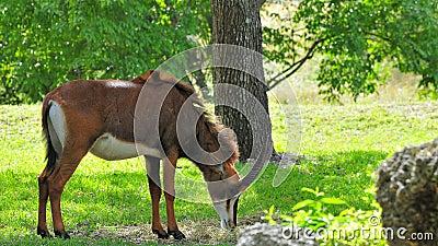 Sable antelope eating