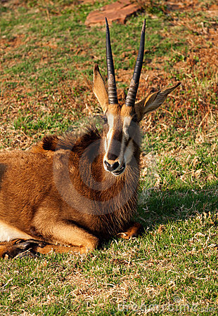 Sable antelope head