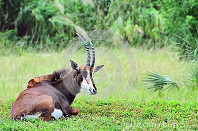 Sable antelope in zoo