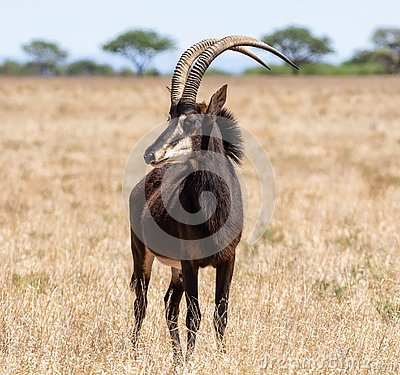 Free Sable Bull Stock Photography - 145520622