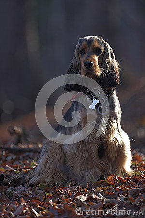 Sable English Cocker Spaniel in Forest