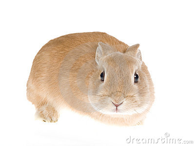Sable Netherland dwarf rabbit, on white background