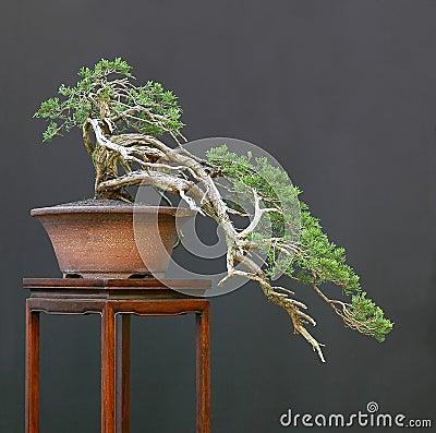 Free Sabna Juniper Bonsai Cascade Stock Photography - 1684782