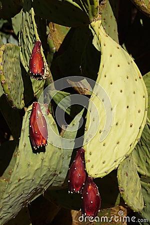 Sabra kłującej bonkrety kaktus z owoc
