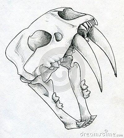 Saber tooth tiger skull diagram animalcarecollegefo saber tooth tiger skull diagram ccuart Images