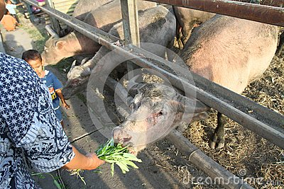 Sacred buffalo of surakarta palace Editorial Image