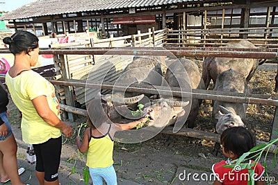 Sacred buffalo of surakarta palace Editorial Photography