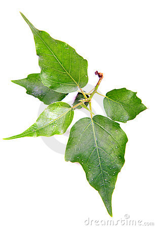 Sacred fig(peepal) leaves