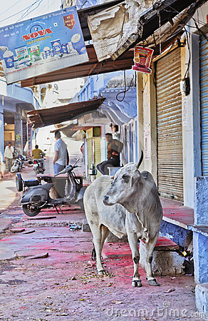 Sacred Hindi cow Shri Nathji Mandir Rajasthan Editorial Stock Photo