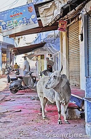 Sacred Hindi cow Shri Nathji Mandir Rajasthan Editorial Stock Photo