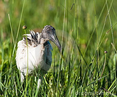 Sacred Ibis in grass