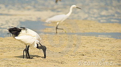 A Sacred Ibis helping a Little Egret