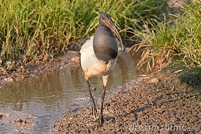 Sacred ibis wading in water